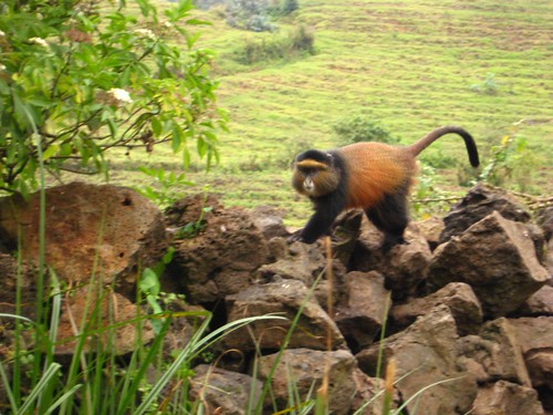 Golden Monkey on the park wall