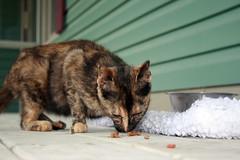 Petal the Cat