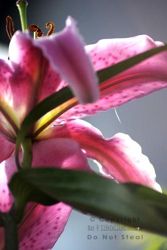 lily underside