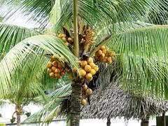 fruitful palm tree