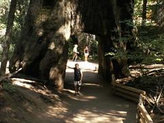 Sequoia dont le tronc a ete decoupe a sa base. Sympa neanmoins pour les photos.
