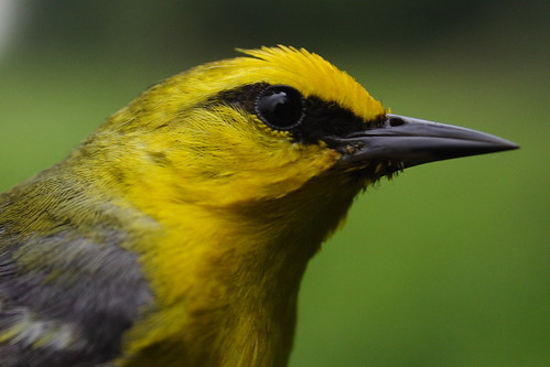 Blue-winged Warbler Closeup