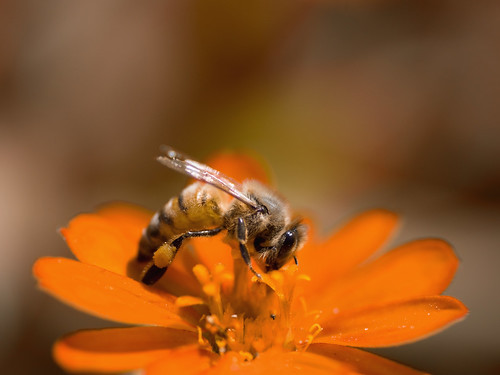 Yet another bee on flower by Joel  Olives.