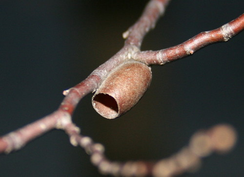 Sawfly cocoon