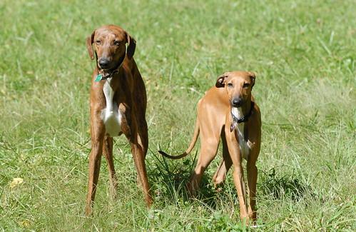 Young pair of Azawakh.