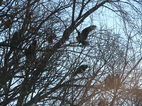 Turkey Vultures - Closeup