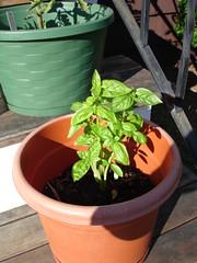 Regular basil, heavily pruned