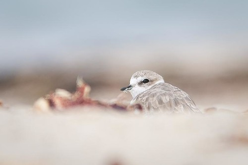 Snowy Plover by you.