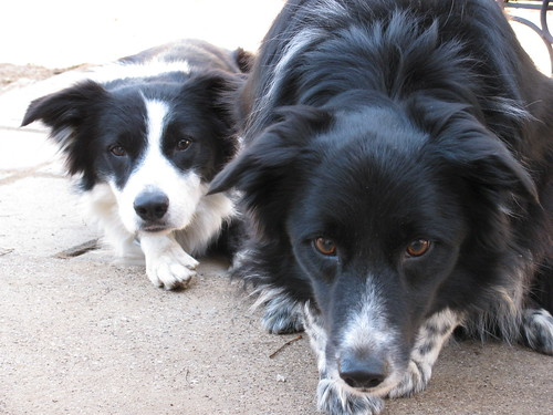 Border Collie Stare