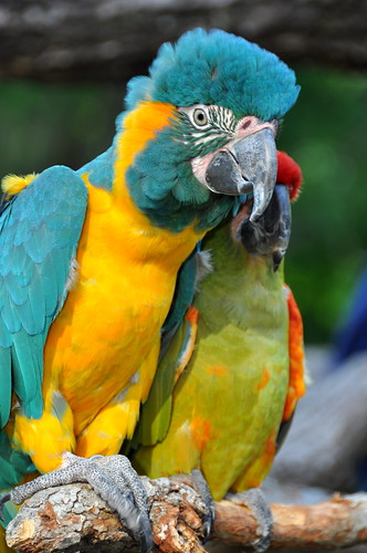 70's Parrot