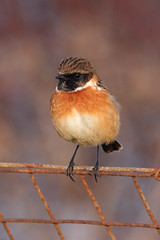 Stonechat by Flickr user markkilner