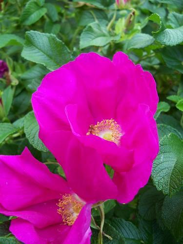 sea rose bloom