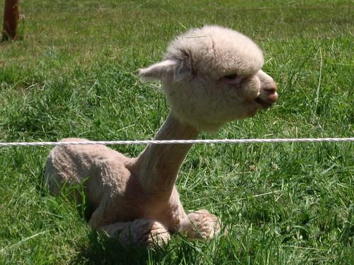 Baby Alpaca Cutie