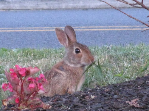 little rabbit on a parking lot.