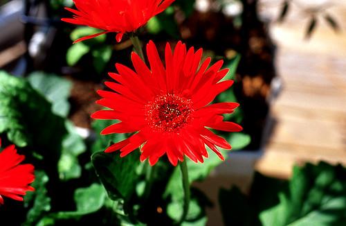 Red Fancy. (Kodak Ektachrome E100VS. Nikon F100. Epson V500.)
