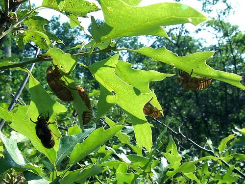 Empty cicada exuviae on the powerline