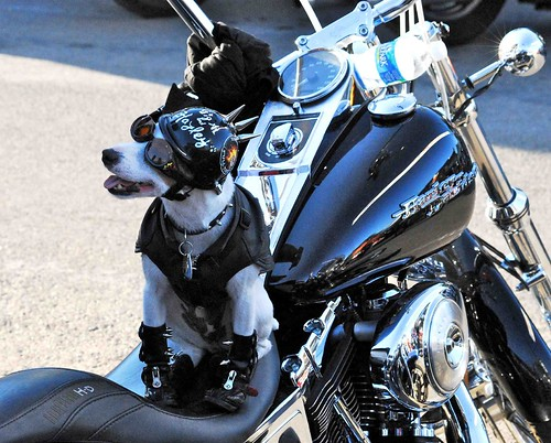 Harley Dog in Sturgis