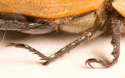 Grapevine Beetle legs