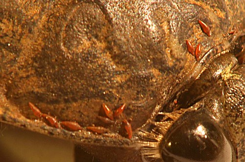 Mites on a Giant Water Bug