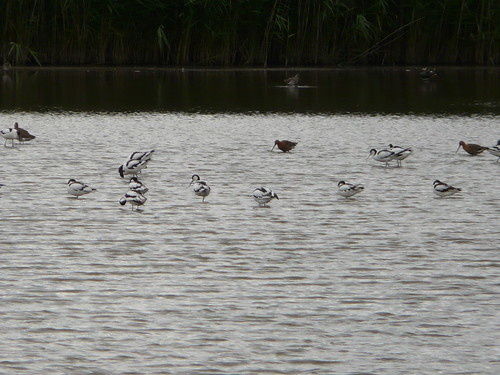 Avocets and black-tailed godwits