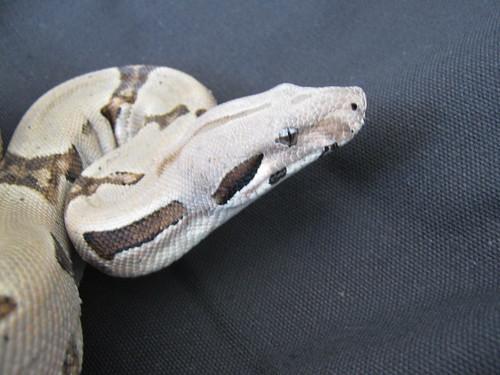 Boa Constrictor Imperitor