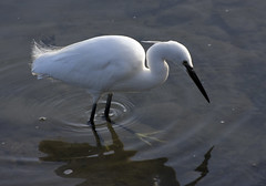 Little Egret by Flickr user Steve_C