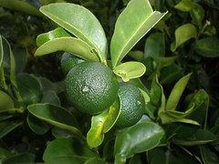 Lime fruits and leaves, Dole Street, Honolulu