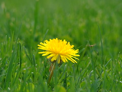 yellow and green - a flower in grass
