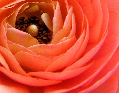 Salmon Pink Ranunculus