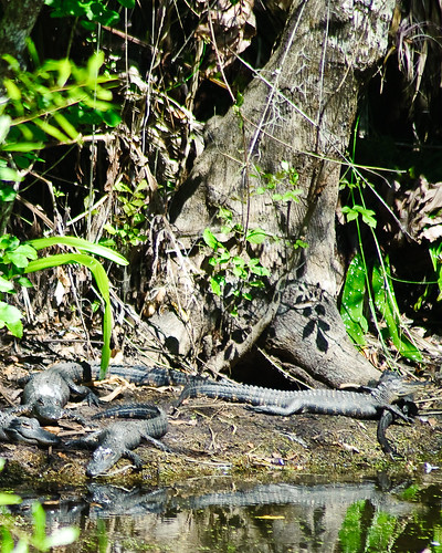 Basking Alligators