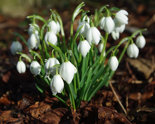 20100220-16_Snowdrops near Wolston community centre by gary.hadden