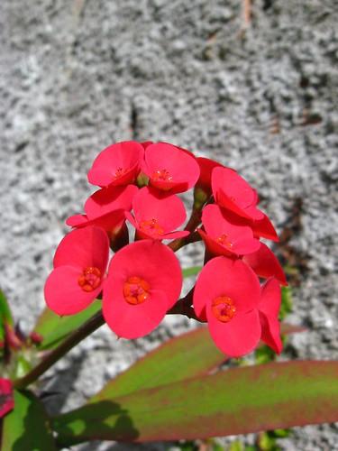 Flor de espinhos