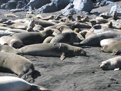 Fur Seal Colony