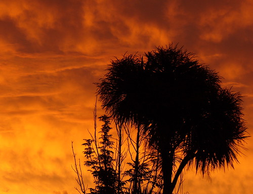 Sunset through the cabbage tree
