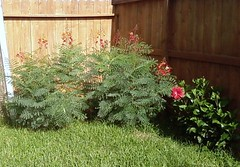 Dwarf Poinciana and Hibiscus in the Back Corner of the Yard