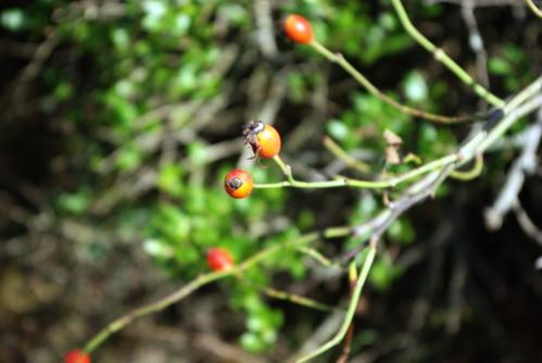 rosehips, pentax k10d