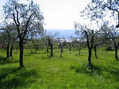 Uliveto sull'Alto Garda