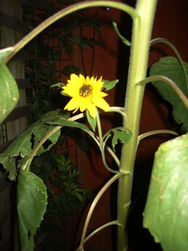 baby sunflower child