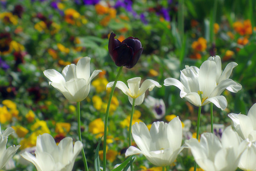 white tulips and black tulip, istanbul tulip festival, istanbul, pentax k10d