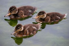 trois canetons / three ducklings