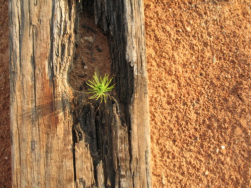 Lone Pine In Red Clay, Clarks Hill Lake, Georgia, July 2008, photo © 2008 by QuoinMonkey. All rights reserved.