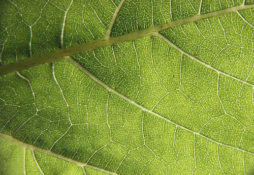 Sunflower leaf by aimeesblog