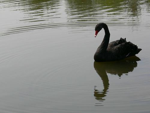 Black Swan (by gwendolen)