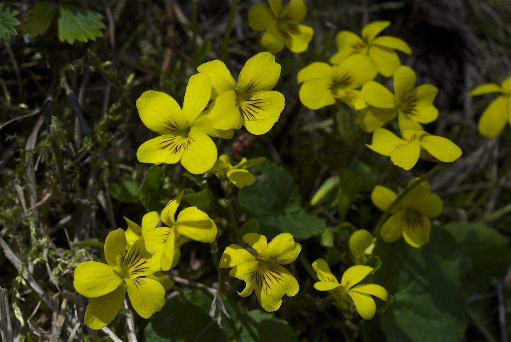 Stream Violet, Pioneer Violet ~ Viola glabella
