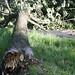Snapped tree #6