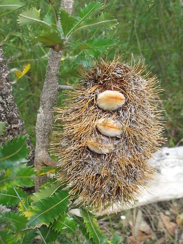 Banksia fruit