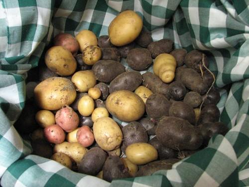 Tater Harvest