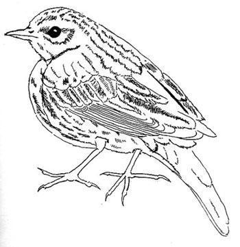 Sketch Birdie350