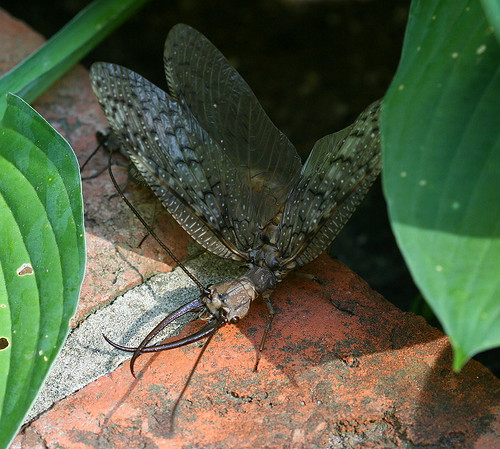 Mating dobsonflies