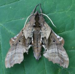 Blinded Sphinx - Hodges#7824 (Paonias excaecatus)